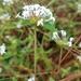 Crusea longiflora - Photo (c) Ignacio Torres García, some rights reserved (CC BY-NC)