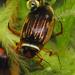 Hydroporinae - Photo (c) Wolfram Sondermann, algunos derechos reservados (CC BY-ND)