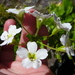 Ourisia macrophylla lactea - Photo (c) sea-kangaroo, some rights reserved (CC BY-NC-ND)