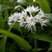 Ramsons - Photo (c) Ulrika, some rights reserved (CC BY)