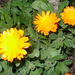 Pot Marigold - Photo (c) Inma Torres, some rights reserved (CC BY-NC)