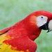 Guacamaya Roja - Photo (c) Barbara Olson, algunos derechos reservados (CC BY-NC)