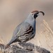 Gambel's Quail - Photo (c) Gordon Karre, some rights reserved (CC BY-NC)