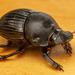 Homocopris torulosus - Photo (c) MatiasG, algunos derechos reservados (CC BY-NC)