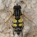 Helophilus trivittatus - Photo (c) faluke, algunos derechos reservados (CC BY-NC)