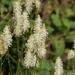 Sanguisorba canadensis - Photo (c) David McCorquodale, algunos derechos reservados (CC BY)