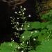 Heuchera missouriensis - Photo (c) Vanessa Voelker,  זכויות יוצרים חלקיות (CC BY-NC)