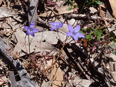 Australian Bluebell