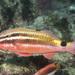 Blacksaddle Goatfish - Photo (c) Erik Schlogl, some rights reserved (CC BY-NC)