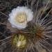 Eulychnia castanea - Photo (c) Paloma Juliá, μερικά δικαιώματα διατηρούνται (CC BY-NC)