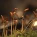 Atrichum angustatum - Photo (c) AnneTanne, algunos derechos reservados (CC BY-NC)