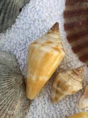 Conus anabathrum image