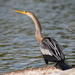 Anhinga anhinga - Photo (c) Justina Martelli,  זכויות יוצרים חלקיות (CC BY-NC)