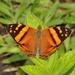 Mariposa Mapeada Naranja - Photo (c) Pavel Kirillov, algunos derechos reservados (CC BY-NC-SA), uploaded by Pasha Kirillov