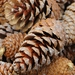 Pinos, Cipreses, Tejos, Araucarias Y Parientes - Photo (c) böhringer friedrich, algunos derechos reservados (CC BY)