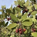Arctostaphylos glandulosa cushingiana - Photo (c) paulexcoff, algunos derechos reservados (CC BY-SA)