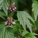 Common Motherwort - Photo (c) AnneTanne, some rights reserved (CC BY-NC)