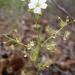 Drosera lunata - Photo (c) Colin Trainor, algunos derechos reservados (CC BY-NC)