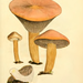 Gomphidiaceae - Photo James Sowerby, δεν υπάρχουν γνωστοί περιορισμοί πνευματικών δικαιωμάτων (Κοινό Κτήμα)