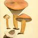 Gomphidiaceae - Photo James Sowerby, no known copyright restrictions (public domain)