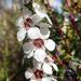 Leptospermum repo - Photo Δεν διατηρούνται δικαιώματα