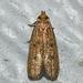 Glyphidocera juniperella - Photo (c) Royal Tyler, algunos derechos reservados (CC BY-NC-SA)