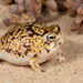 Desert Rain Frog - Photo (c) Tyrone Ping, some rights reserved (CC BY-NC)