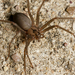 Recluse Spiders - Photo (c) Meghan Cassidy, some rights reserved (CC BY-SA)