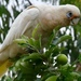 Little Corella - Photo (c) John Cull, some rights reserved (CC BY-NC)