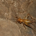 Ovaliptila lindbergi - Photo (c) Hellenic Institute of Speleological Research, some rights reserved (CC BY-NC)
