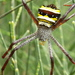 Signature Spider - Photo (c) Jemuel Stanley, some rights reserved (CC BY-NC)