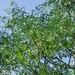 Aralia soratensis - Photo (c) Gonzalo Martinez, some rights reserved (CC BY-NC)