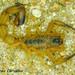 Tityus stigmurus - Photo (c) Leonardo Sousa Carvalho, algunos derechos reservados (CC BY-NC)