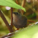 Ochre-flanked Tapaculo - Photo (c) León Maximiliano Vásquez Delgado, some rights reserved (CC BY-NC)