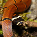 Kellogg's Coral Snake - Photo (c) guliwu_island, some rights reserved (CC BY-NC)