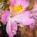Peruvian Lilies - Photo (c) aacocucci, some rights reserved (CC BY-NC)