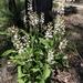 Lomatia ilicifolia - Photo (c) Casey, algunos derechos reservados (CC BY-NC)