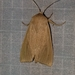 Large Wainscot Moth - Photo (c) Ray Simpson, some rights reserved (CC BY-NC)
