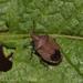 Glyphepomis adroguensis - Photo (c) Lucas Rubio, algunos derechos reservados (CC BY)