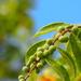 Bridelia tomentosa - Photo (c) 葉子, algunos derechos reservados (CC BY-NC-ND)