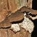 Echinodontium ballouii - Photo (c) Tom Murray, some rights reserved (CC BY-NC)