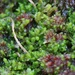 Bog-moss Flapwort - Photo (c) joshstyles, some rights reserved (CC BY-NC)
