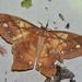 Arsenura ponderosa - Photo (c) ombeline_sculfort, algunos derechos reservados (CC BY-NC-ND)