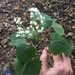 Rockhouse White Snakeroot - Photo (c) trichomanes, some rights reserved (CC BY-NC)