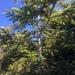 Abies grandis - Photo (c) Alex Shepard, algunos derechos reservados (CC BY)