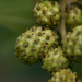 Green Buttonwood - Photo (c) Philip Thomas, some rights reserved (CC BY-NC)