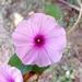 Ipomoea rubens - Photo (c) Luis Humberto Vicente Rivera, algunos derechos reservados (CC BY-NC)
