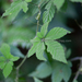 Southern Ginseng - Photo (c) 曾云保, some rights reserved (CC BY-NC)