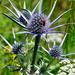 Eryngium bourgatii - Photo (c) bathyporeia,  זכויות יוצרים חלקיות (CC BY-NC-ND)