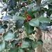 American Holly - Photo (c) Ron Seman, some rights reserved (CC BY-NC)